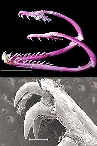 enguia-mandibula-alien.jpg