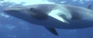 Baleia anã