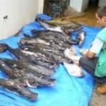 Piracema – Fiscalização já apreendeu quase 4 mil quilos de pescado irregular em MT