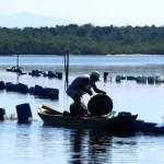 criação ostras