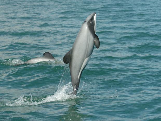 Fêmea de golfinho de Hector nada no mar da Nova Zelândia (Foto: Copyright Steve Dawson)